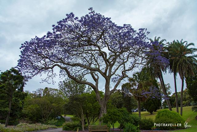 ボタニックガーデン 紫の花 世界三大花木 ジャカランダ オーストラリア