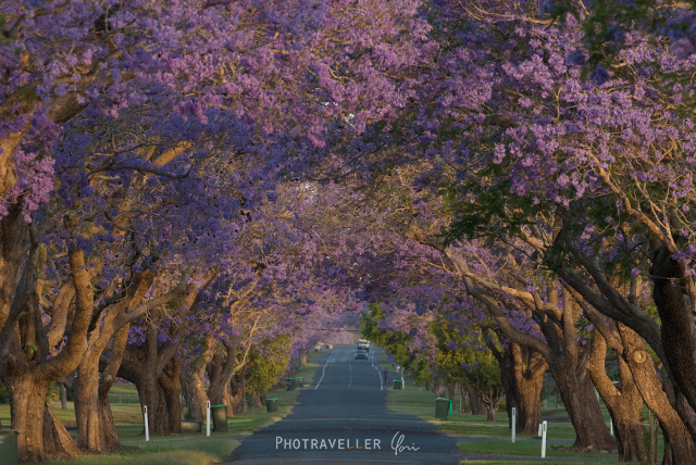 Grafton North street Jacaranda tunnel