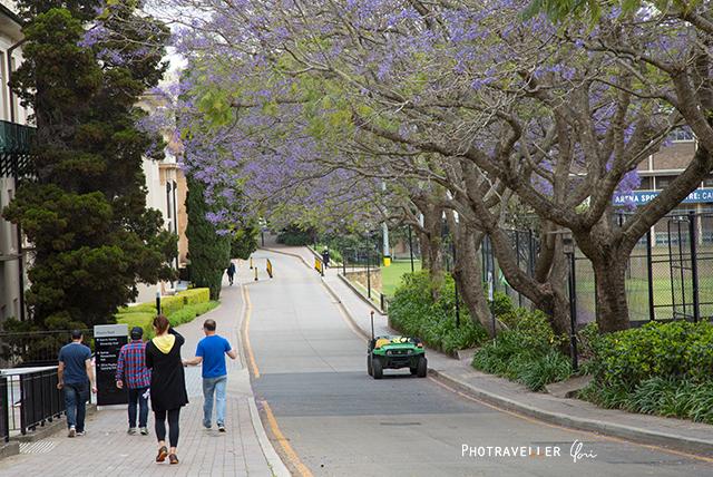 シドニー大学 紫の花 世界三大花木 ジャカランダ オーストラリア