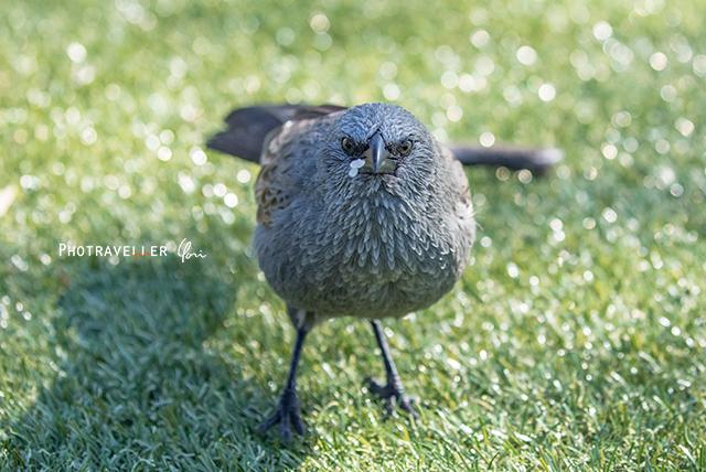 アポストルバード Apostlebird オーストラリアの野鳥