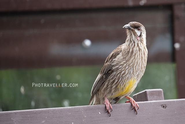 レッドワトル アカミミダレミツスイ Red Wattlebird オーストラリアの野鳥
