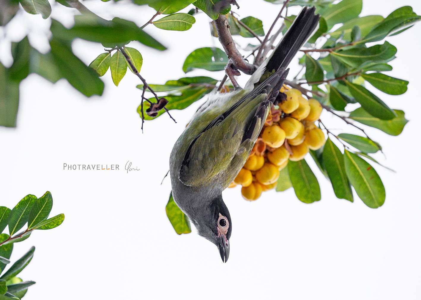 フィグバード figbird オーストラリアの野鳥
