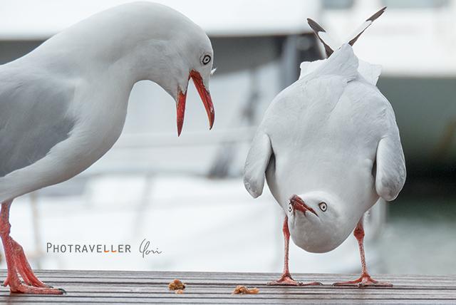 シルバーガル カモメの喧嘩 オーストラリア 野鳥
