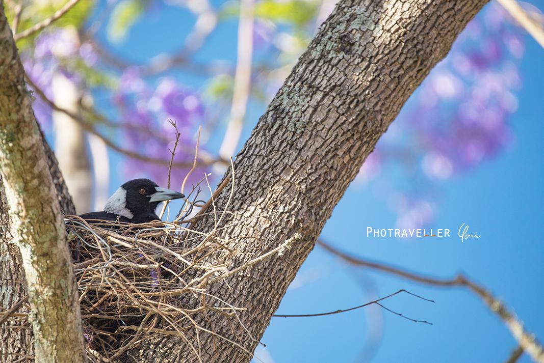 マグパイ ジャカランダ オーストラリアの野鳥