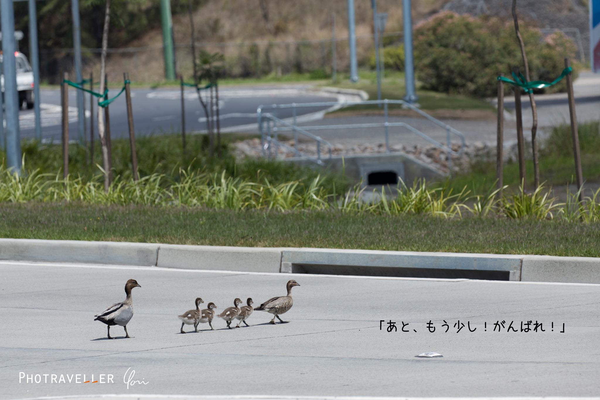 道横断 タテガミガン ウッドダック ファミリー オーストラリアの野鳥
