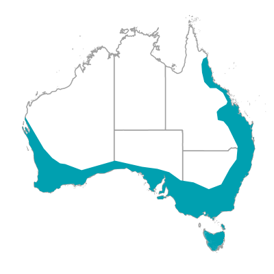 マミジロヤブムシクイ スクラブ レン オーストラリアの野鳥