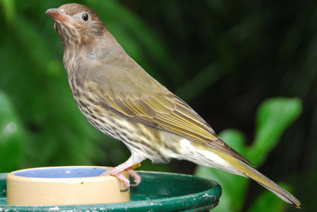 フィグバード メス figbird オーストラリアの野鳥