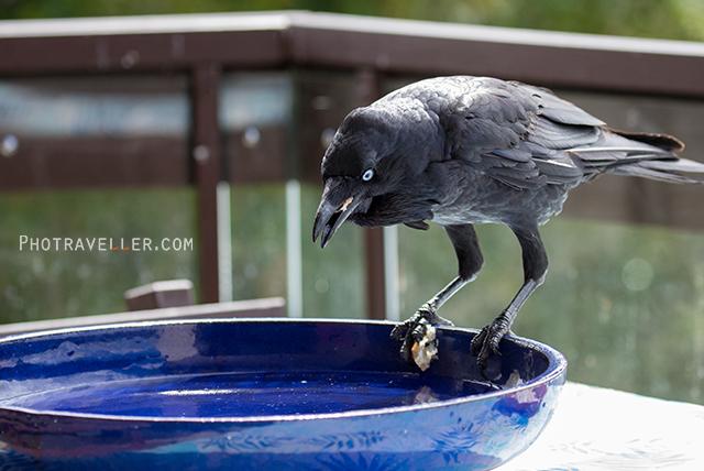 オーストラリアン レイヴン Australian Raven 食事中 オーストラリアの野鳥