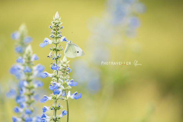 てふてふ 蝶々