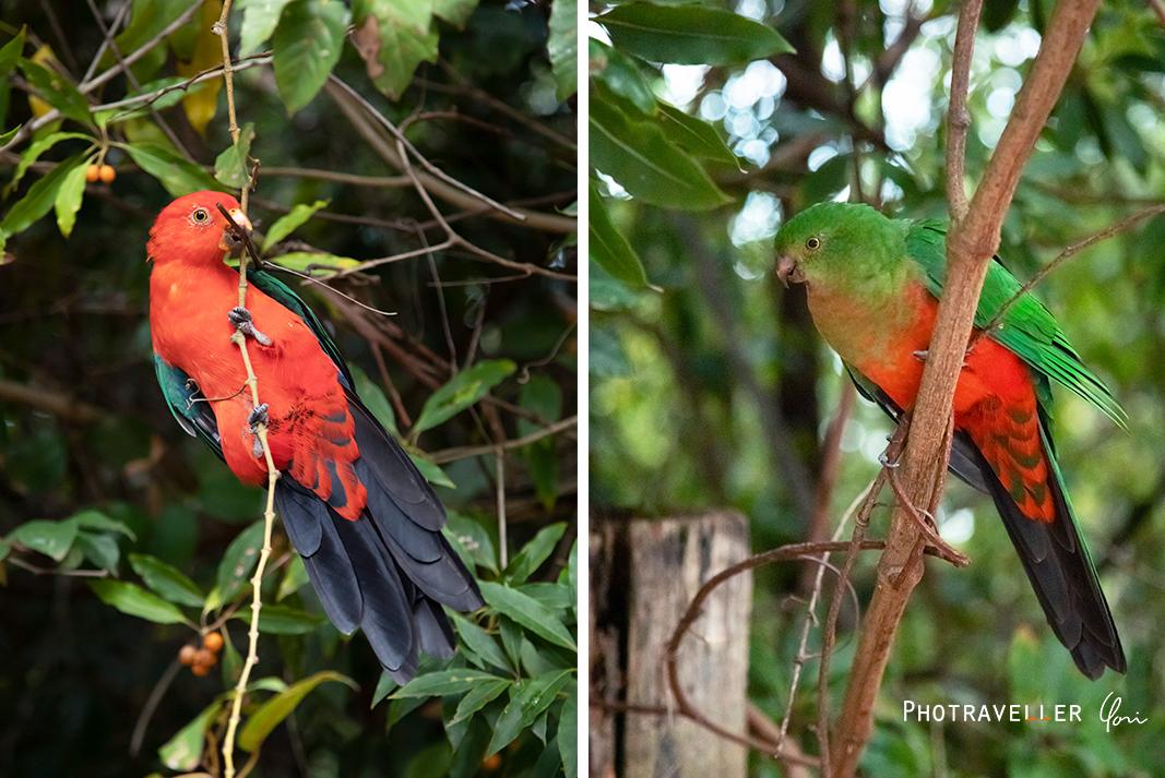 キングパロット オスとメス King parrot オーストラリアの野鳥