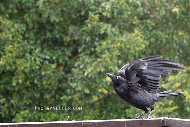 オーストラリアン レイヴン Australian Raven 飛び立つ オーストラリアの野鳥