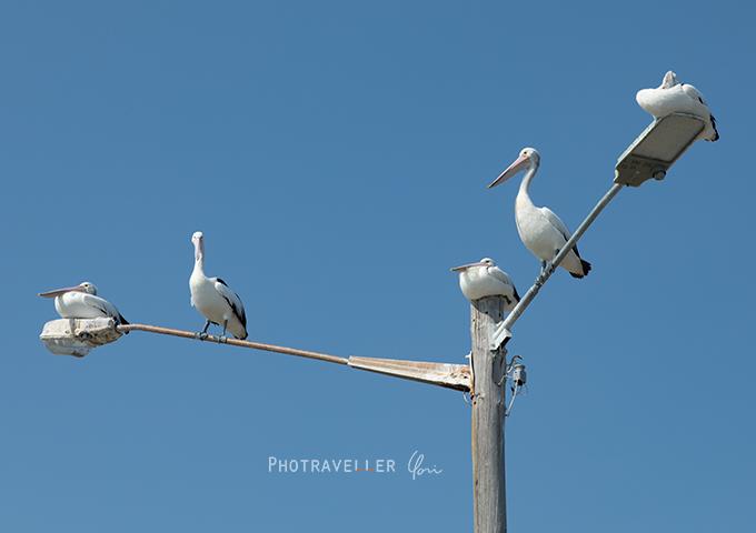 ペリカン オーストラリアの野鳥