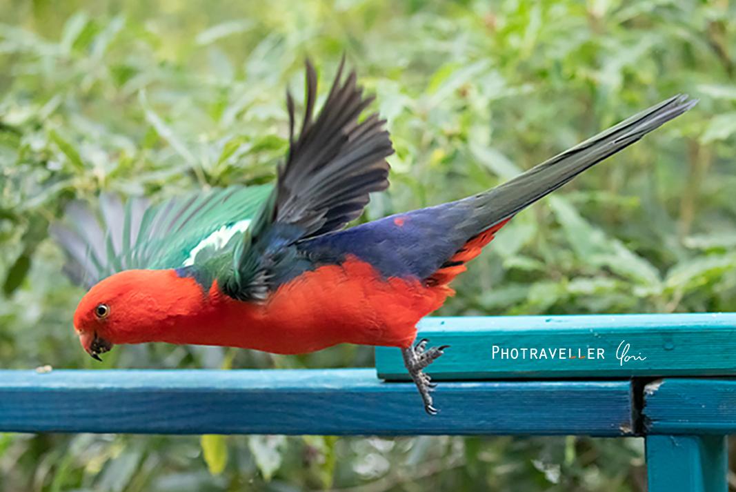 キングパロット羽ばたきKing parrot オーストラリアの野鳥