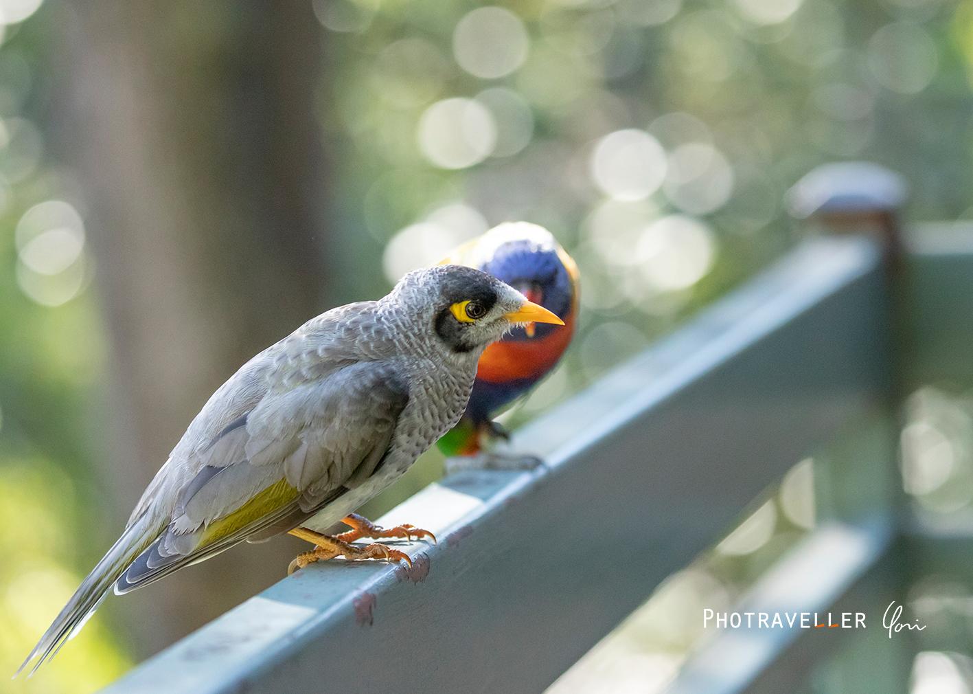 ノイジーマイナ クロガシラミツスイ オーストラリアの野鳥