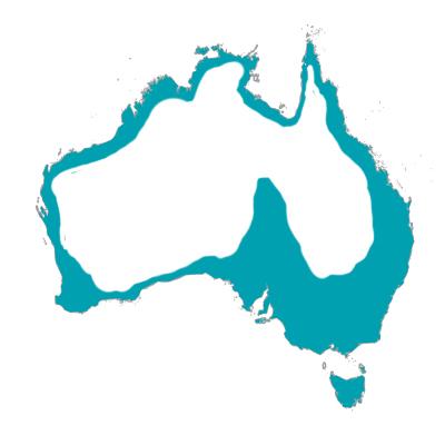 シルバーガル カモメ オーストラリア 野鳥