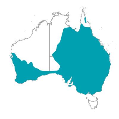 Australian Raven レイヴン オーストラリアの野鳥