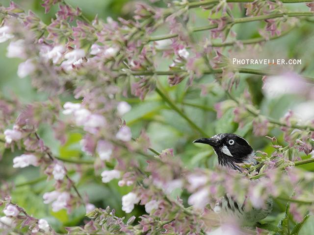 ニューホランドハニーイーター New Holland Honeyeater オーストラリアの野鳥