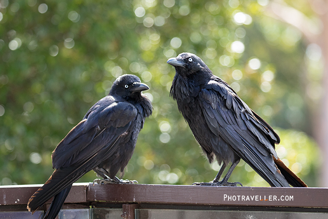 オーストラリアン レイヴン Australian Raven カップル オーストラリアの野鳥