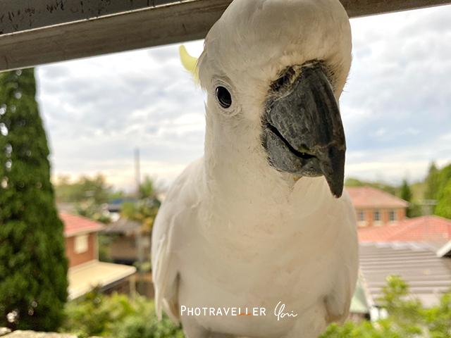 コカトゥー キバタン オーストラリアの野鳥