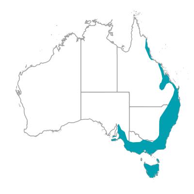 イースタンスピンビル キリハシミツスイ オーストラリアの野鳥