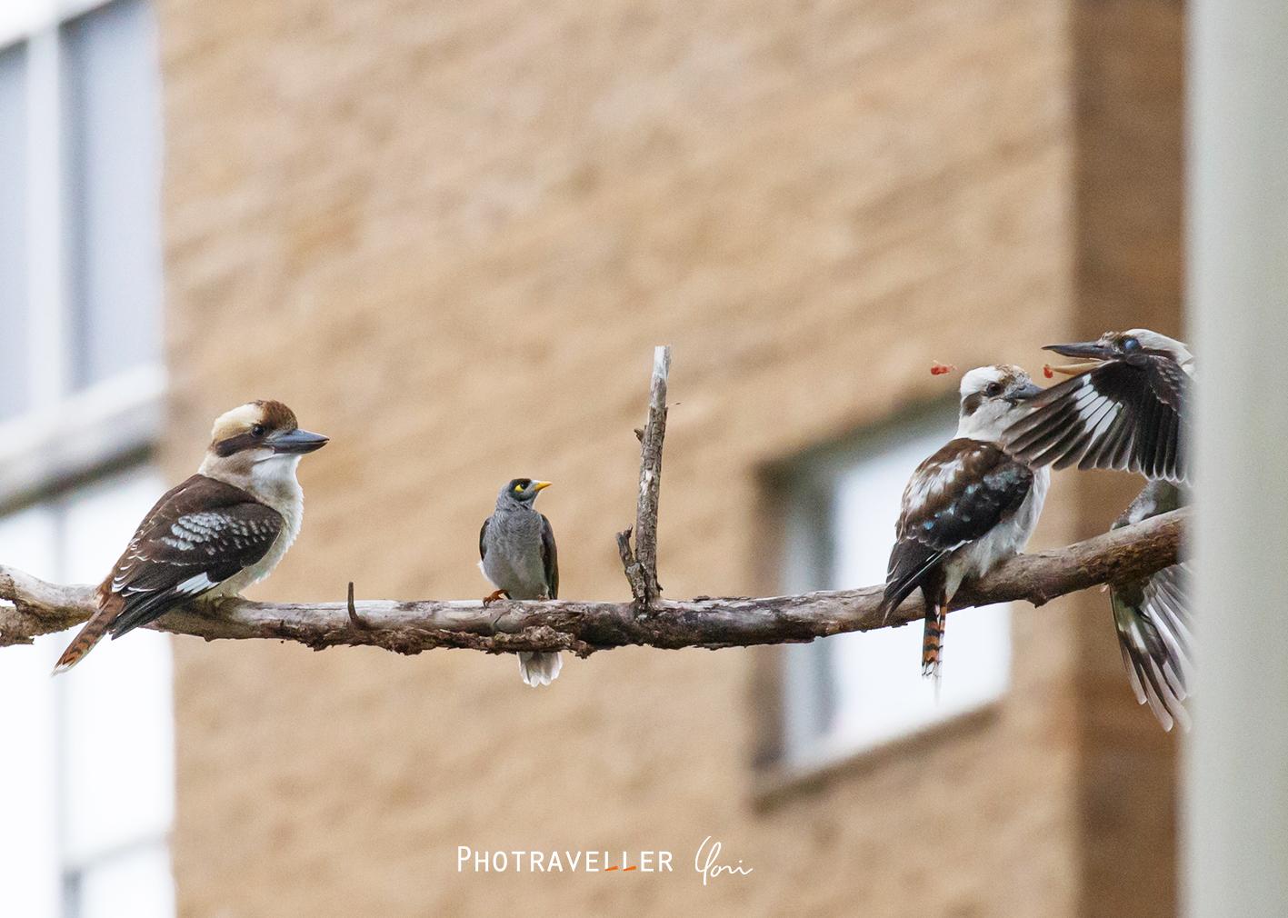 クッカバラ ノイジーマイナ クロガシラミツスイ オーストラリアの野鳥