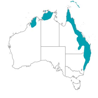 オーストラリアン フィグバード Australian Figbird オーストラリアの野鳥