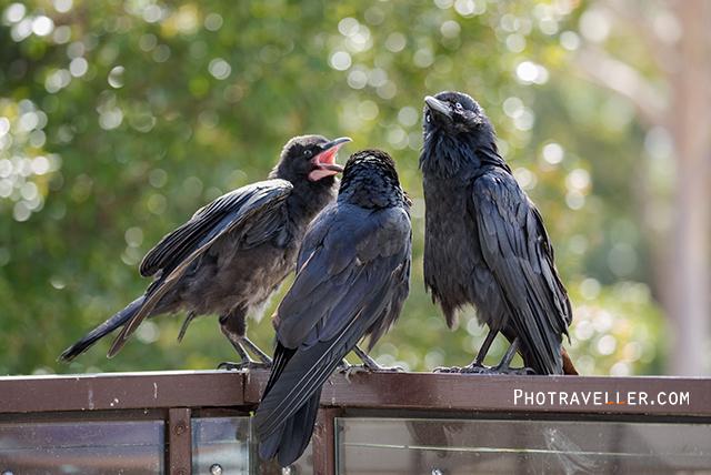 オーストラリアン レイヴン Australian Raven 親子 オーストラリアの野鳥
