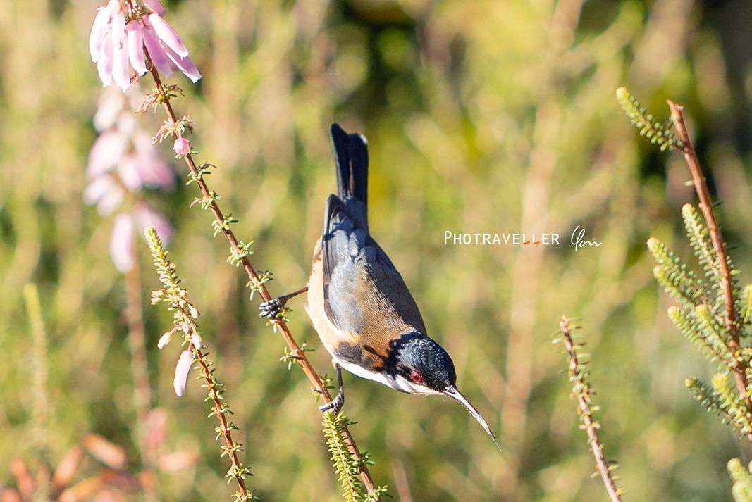 3イースタンスピンビル キリハシミツスイ オーストラリアの野鳥