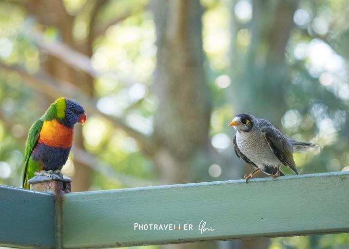 ローリキート ノイジーマイナ クロガシラミツスイ オーストラリアの野鳥