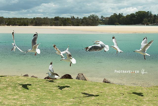 ギンカモメ ギンカモメ オーストラリアの野鳥