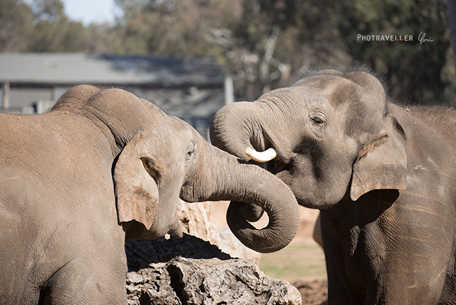 ゾウの喧嘩