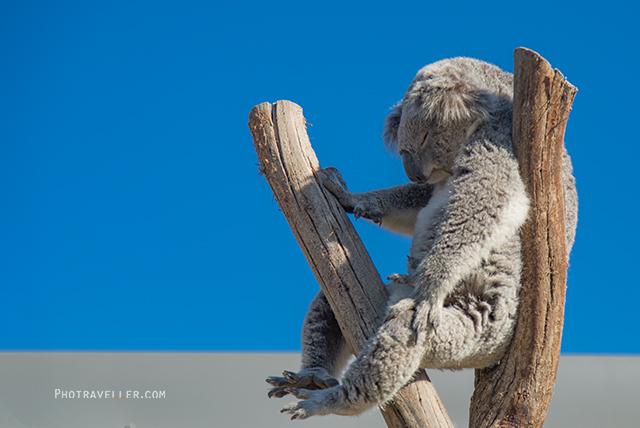 シドニー動物園 コアラ