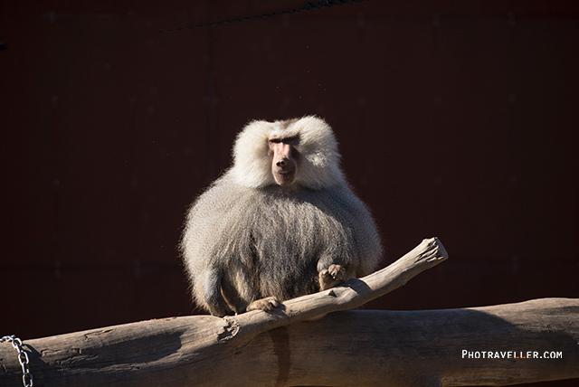 シドニー動物園 バブーン