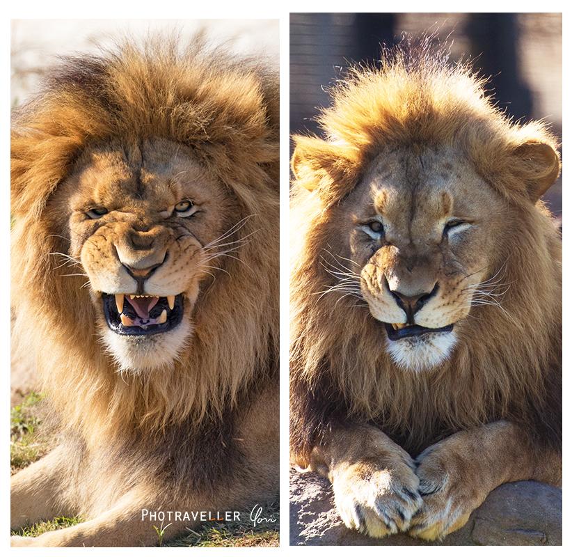 シドニー動物園 百獣の王ライオン 睨み顔 はにかみ笑顔
