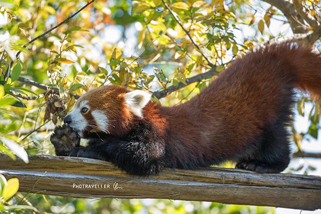 シドニー動物園 レッサーパンダ レッドパンダ