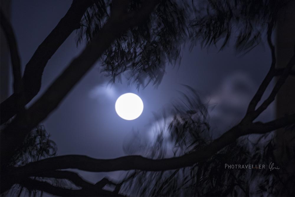 中秋の名月とユーカリ アンゴフォラ