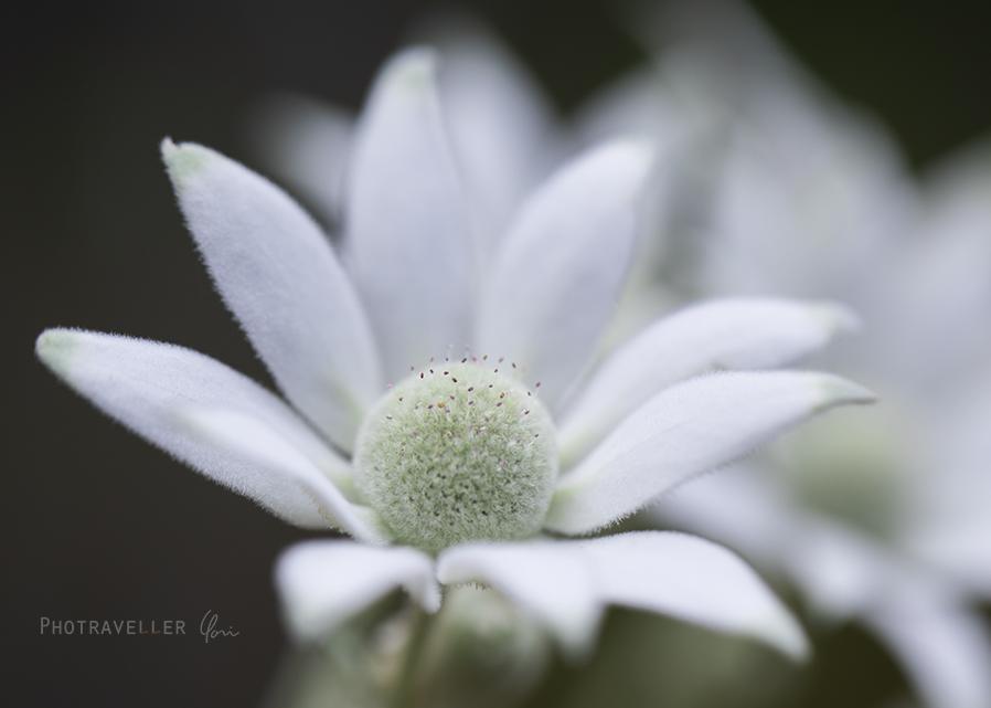 フランネルフラワー Flannel flower